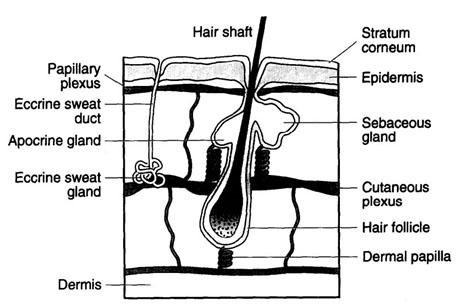 Нежелательные волосы в деликатных зонах - волосяной фолликул схема