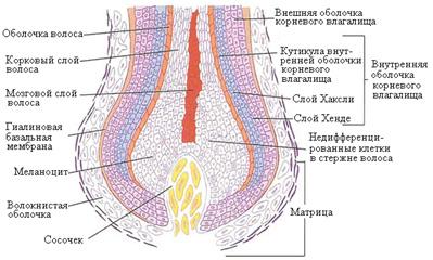 Нежелательные волосы на руках и ногах - строение волосяного фолликула
