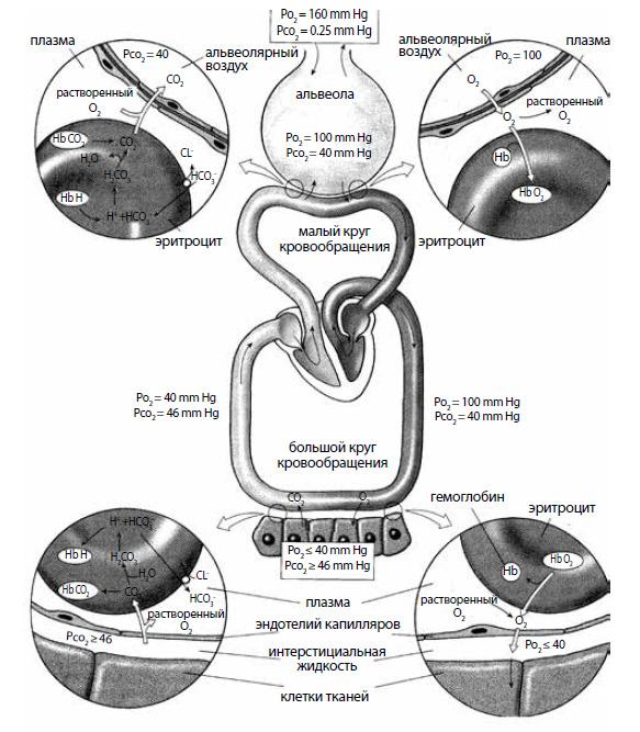 Схема транспорта кислорода и углекислого газа в организме