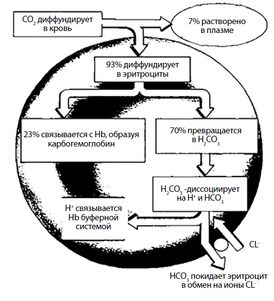 Транспортные формы углекислого газа